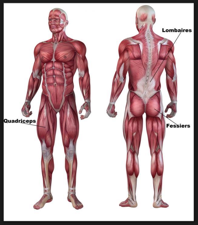 Un squat bien exécuté travaille avant tout les quadriceps mais aussi le  grand fessier.C est donc un excellent mouvement pour développer le galbe  fessier. b1e42fd175a