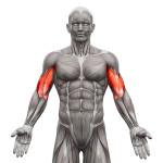exercices-de-musculation-des-biceps