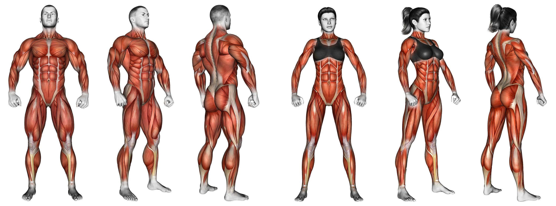 Exercices de musculation classés par muscle - conseils sportifs 21ae08b9822