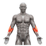 exercices-pour-muscler-avant-bras