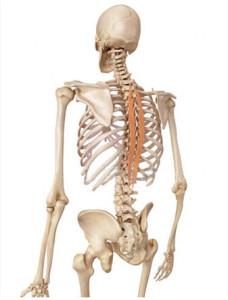 épi-épineux-anatomie