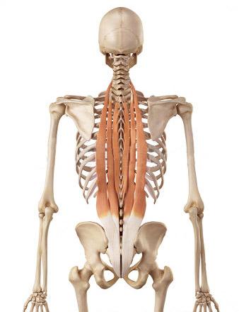 exercices pour muscler-les-lombaires
