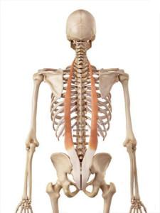 ilio-costal-anatomie