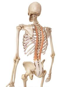 le long dorsal