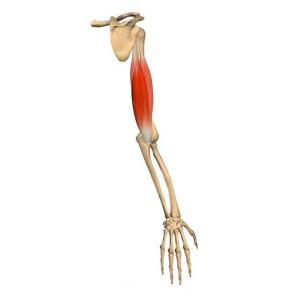 triceps-vue-anatomie