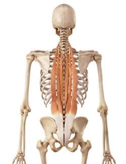 extenseurs de la colonne vertébrale